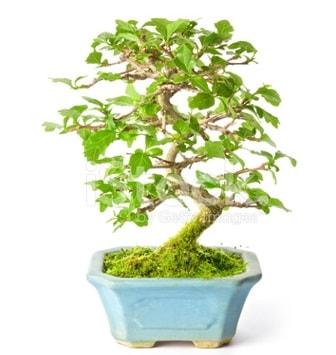 S zerkova bonsai kısa süreliğine  Tokat cicek , cicekci