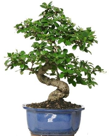 21 ile 25 cm arası özel S bonsai japon ağacı  Tokat anneler günü çiçek yolla