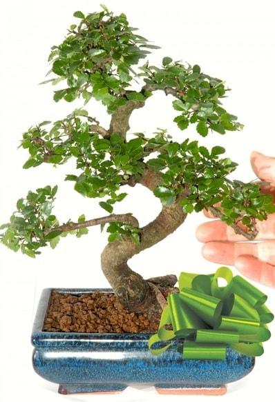 Yaklaşık 25 cm boyutlarında S bonsai  Tokat güvenli kaliteli hızlı çiçek
