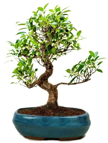 25 cm ile 30 cm aralığında Ficus S bonsai  Tokat cicekciler , cicek siparisi