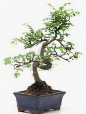 S gövde bonsai minyatür ağaç japon ağacı  Tokat hediye sevgilime hediye çiçek