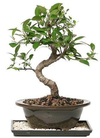 Altın kalite Ficus S bonsai  Tokat anneler günü çiçek yolla  Süper Kalite