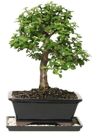 15 cm civarı Zerkova bonsai bitkisi  Tokat güvenli kaliteli hızlı çiçek