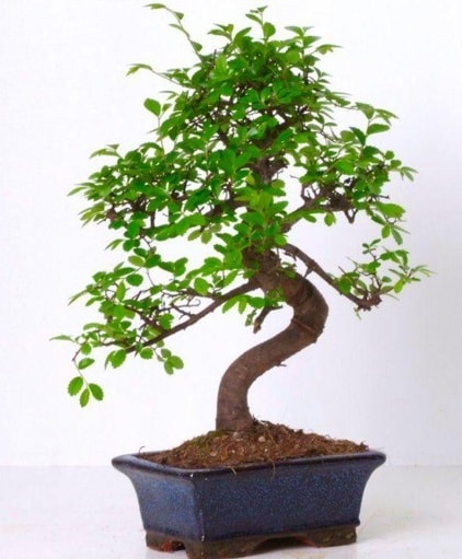 S gövdeli bonsai minyatür ağaç japon ağacı  Tokat cicekciler , cicek siparisi