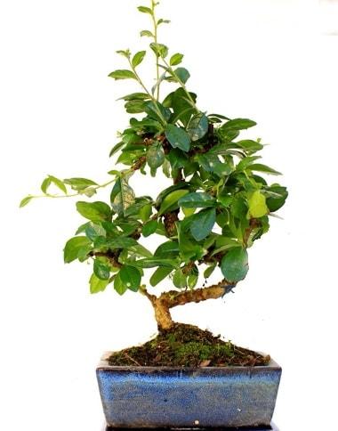 S gövdeli carmina bonsai ağacı  Tokat uluslararası çiçek gönderme  Minyatür ağaç