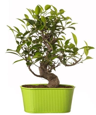 Ficus S gövdeli muhteşem bonsai  Tokat güvenli kaliteli hızlı çiçek