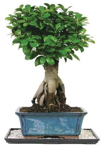 Bonsai Ginsing Grafted Ficus Bonsai  Tokat uluslararası çiçek gönderme