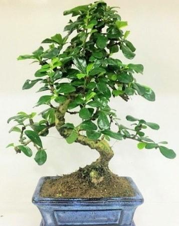 Zelkova S gövdeli Minyatür ağaç Bonzai  Tokat 14 şubat sevgililer günü çiçek