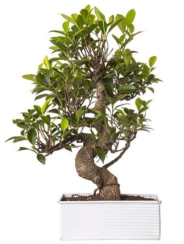 Exotic Green S Gövde 6 Year Ficus Bonsai  Tokat cicekciler , cicek siparisi