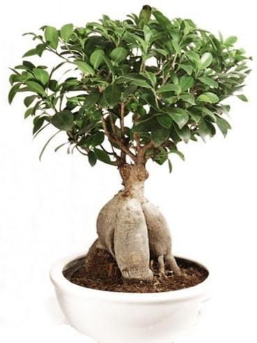 Ginseng bonsai japon ağacı ficus ginseng  Tokat cicek , cicekci
